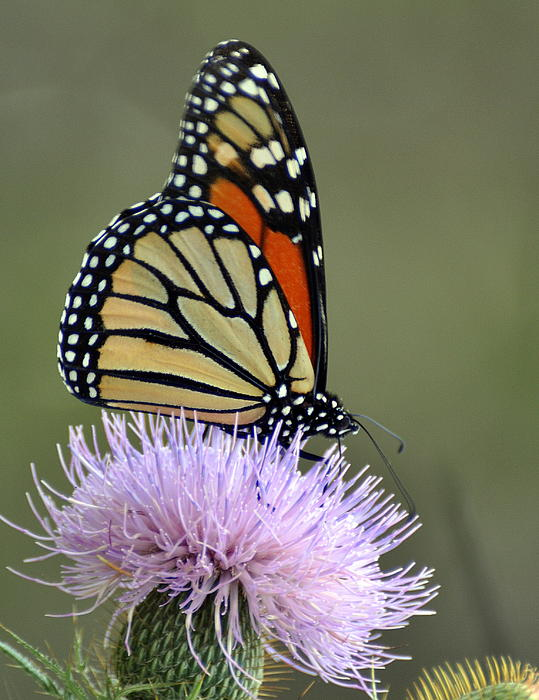 Magnificient Monarch Photograph by Marty Koch
