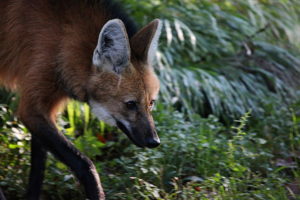 Wolf Photograph - Maned Wolf by Karol Livote