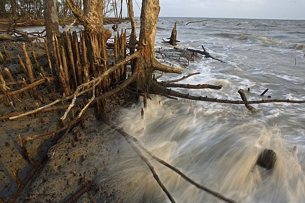 Outdoors Photograph - Mangrove Trees Protect The Coast by Tim Laman