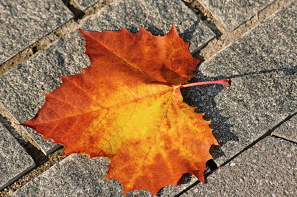 Maple Photograph - Maple Leaf In Fall by Carolyn Marshall