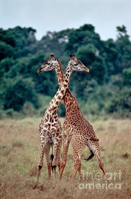 Fauna Photograph - Masai Giraffes Necking by Greg Dimijian