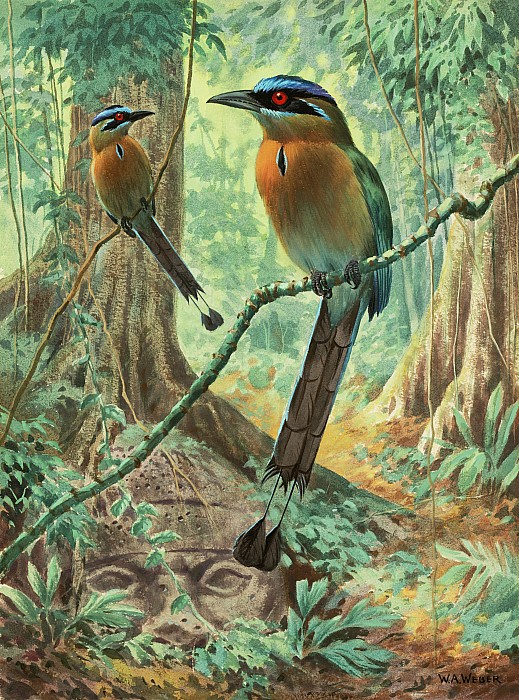 National Geographic Society Photograph - Mexican Motmots Are Perched On Jungle by Walter A. Weber