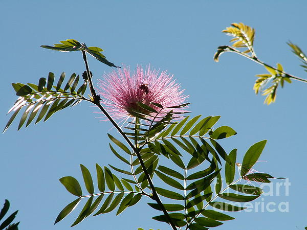 Mimosa Flower Photograph - Mimosa Flower  by Theresa Willingham