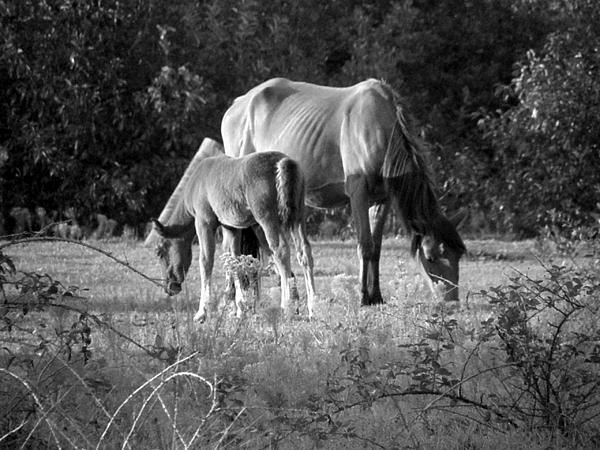 Mustangs Photograph - Mom And Foal Grazing At Sunset by Kim Galluzzo Wozniak