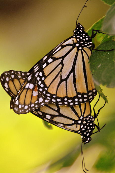 Monarch Butterfly Photograph - Monarch Bliss by Marty Koch