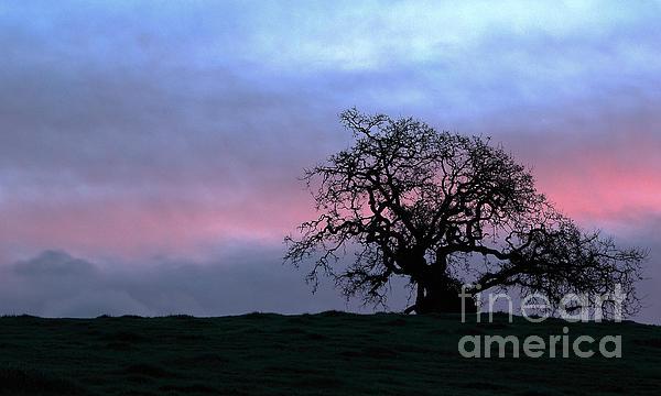 Marin County Photograph - Morning Oak by Daniel Ryan