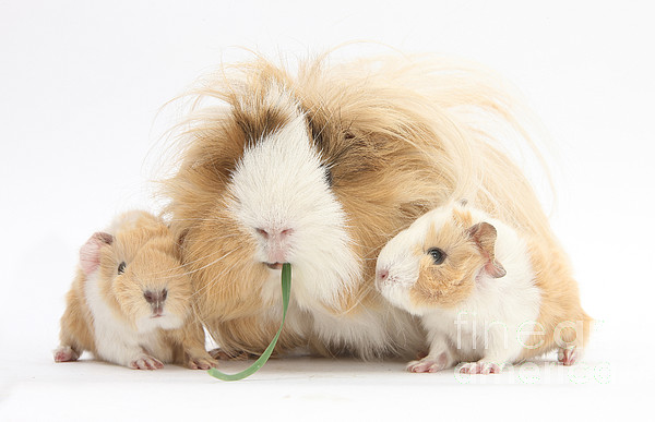 Nature Photograph - Mother Guinea Pig And Baby Guinea by Mark Taylor