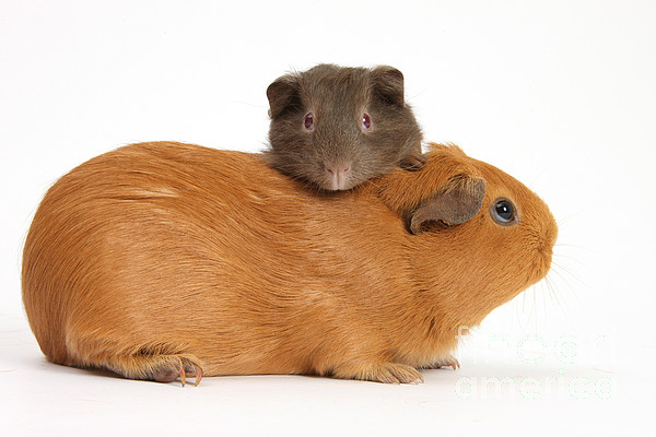 Nature Photograph - Mother Guinea Pig With Baby Guinea Pig by Mark Taylor
