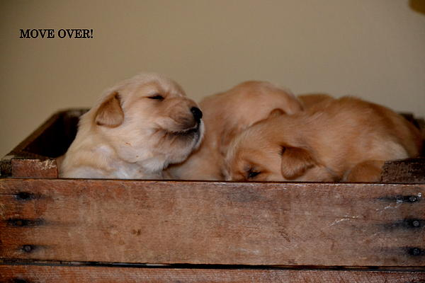 Golden Retrievers Pyrography - Move Over by Brenda Alcorn
