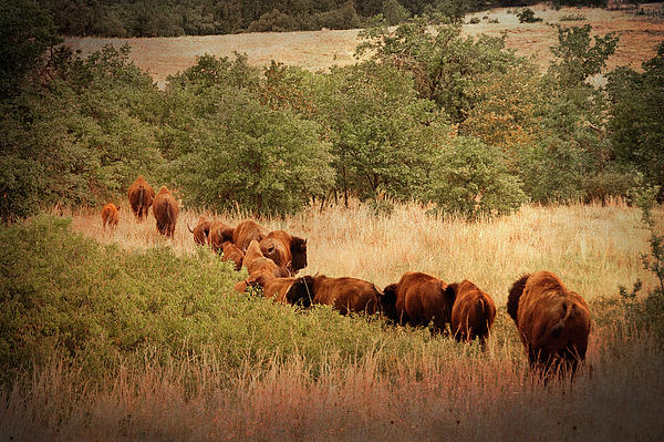 Buffalo Photograph - Moving On by Tamyra Ayles