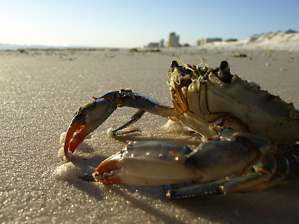 Crab Photograph - Mr. Crabs by Valeria Donaldson
