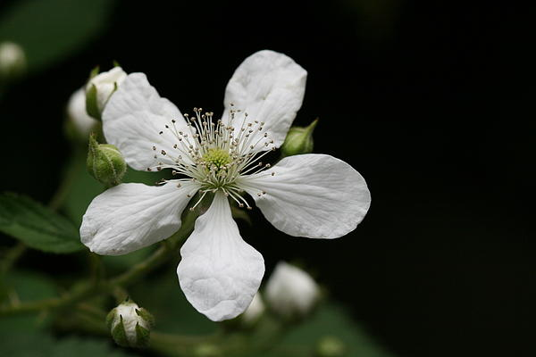 White Photograph - Mysterious Pretty White Flower by Bonnie Boden