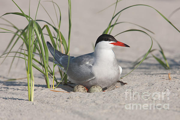 Common Tern Photograph - Nesting Common Tern by Clarence Holmes