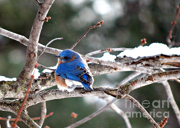 Winter Photograph - Northern Bluebird by Lila Fisher-Wenzel