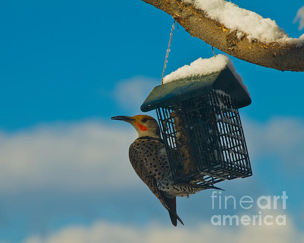 Fort Collins Photograph - Northern Flicker by Harry Strharsky