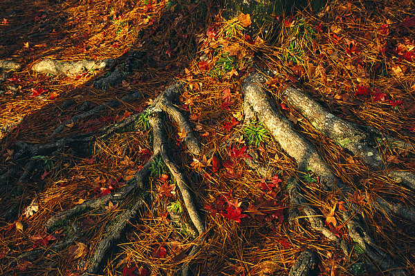 North America Photograph - Oak Tree Roots And Pine Needles by Raymond Gehman
