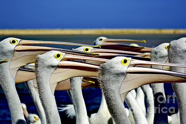 Pelicans Photograph - Open Up And Say Ahhhhhhhhh by Bryan Freeman