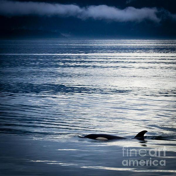 Alaska Photograph - Orca Surfacing by Darcy Michaelchuk