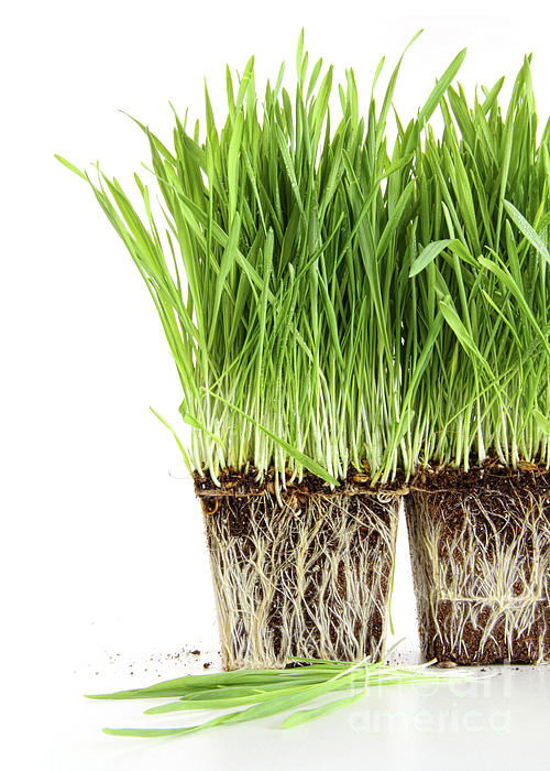 Agriculture Photograph - Organic Wheat Grass On White by Sandra Cunningham