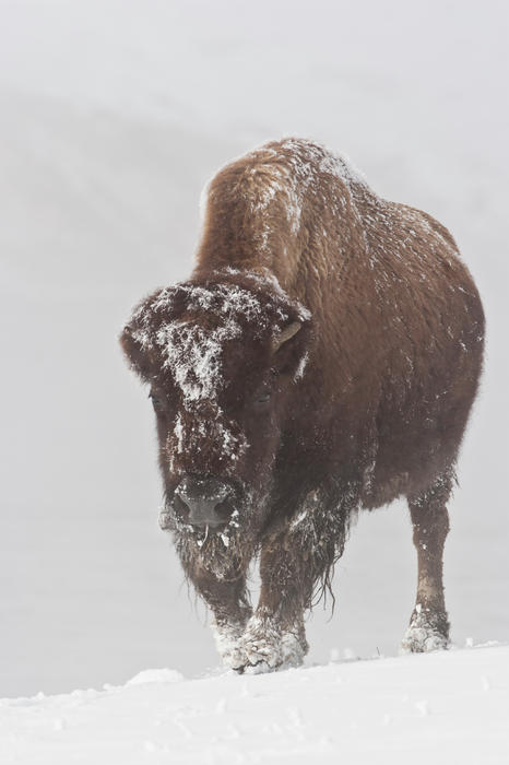 Bison Buffalo American Endangered Species Extinction Recovery Yellowstone Snow Cold Frost Ice Winter Photograph - Out Of The Fog by D Robert Franz