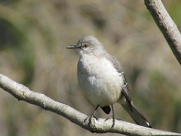 Mockingbird Photograph - Out On A Limb by Bonnie Muir