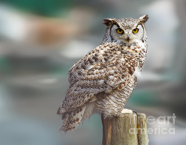 Owl Photograph - Owl Love by Naman Imagery