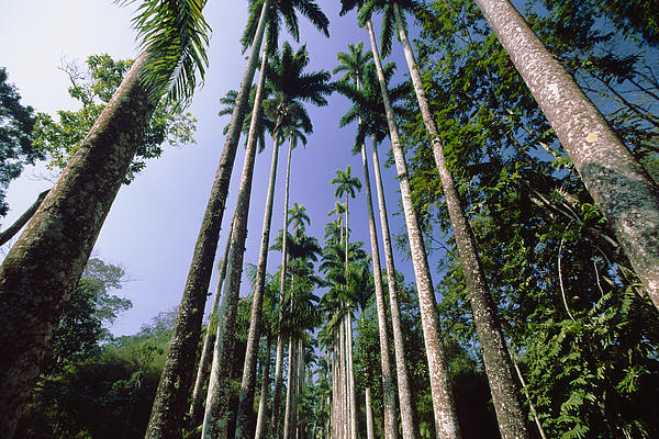 Botanical Garden Photograph - Palm Trees Against The Sky by George Oze