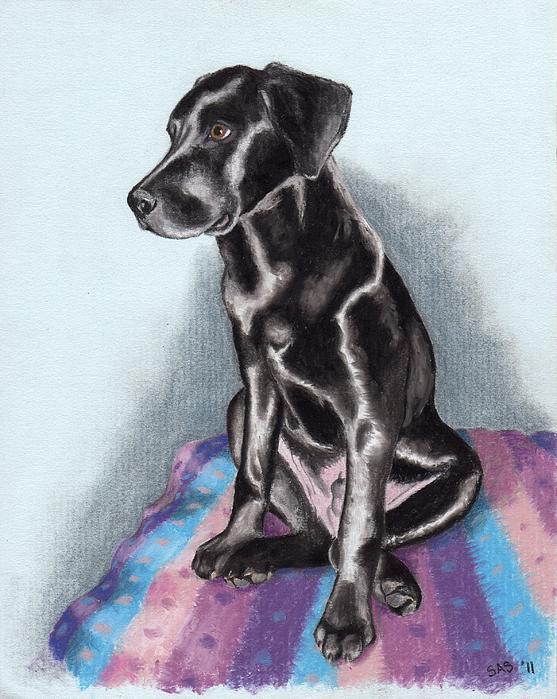 Dog Drawing - Papi The Labby by Sherri Strikwerda