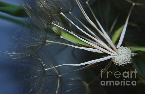 Seeds Photograph - Parachute Seeds  by Jeff Swan