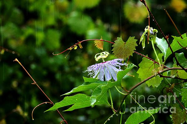 Passion Flower Photograph - Passion Flower In The Rain by Theresa Willingham