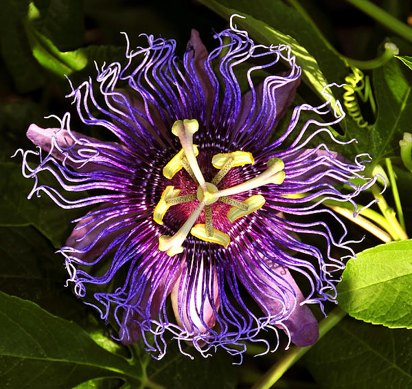 Passionflower Photograph - Passionflower by David Lee Thompson