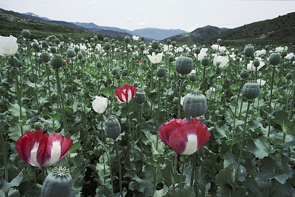 Asia Photograph - Pathan Opium Poppy Papaver Somniferum by Steve Raymer