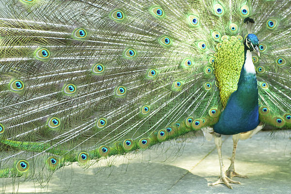 Bird Photograph - Peacock by Pit Hermann