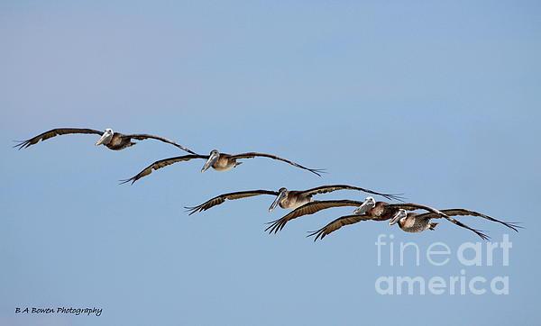 Brown Pelican Photograph - Pelican Crew In Flight by Barbara Bowen