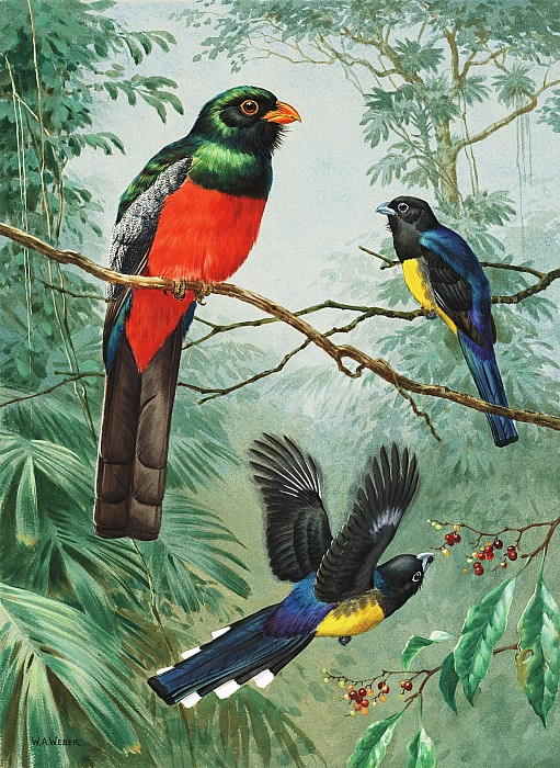 National Geographic Society Photograph - Perched And Flying Trogons Are Seen by Walter A. Weber