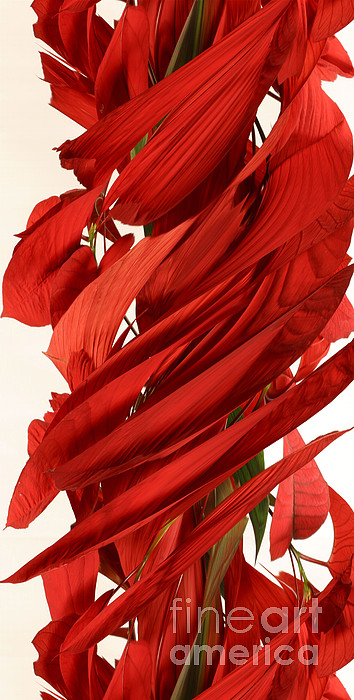Design Photograph - Peripheral Streak Image Of A Poinsettia by Ted Kinsman
