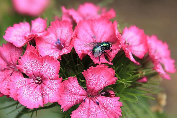 Hovind Photograph - Phlox And Fly by Scott Hovind