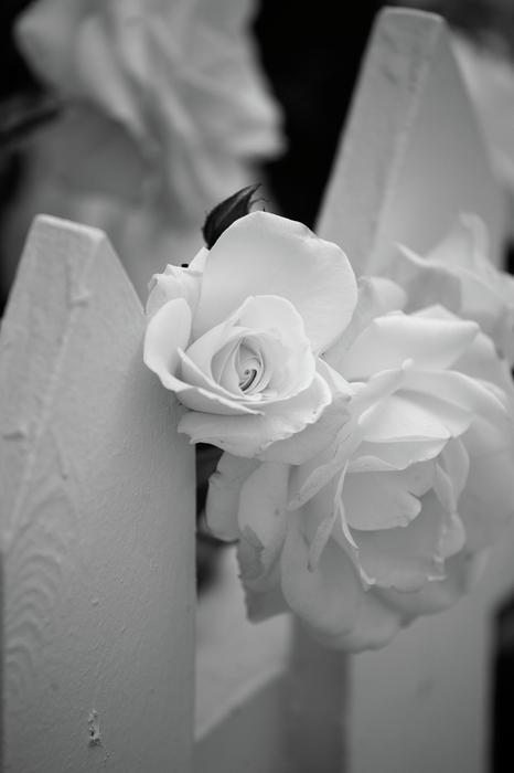 Black & White Photograph - Picket Rose by Peter Tellone