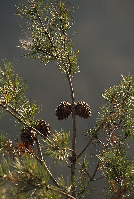 Day Photograph - Pine Cones At The Top Of A Small Pine by Raymond Gehman