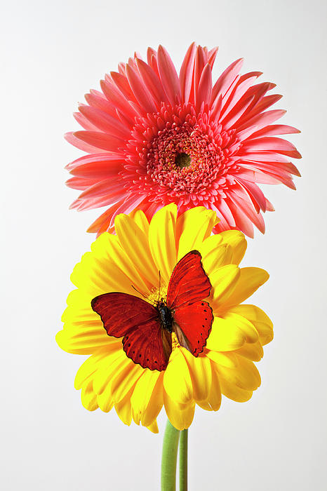 Mums Photograph - Pink And Yellow Mums by Garry Gay