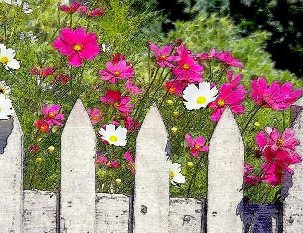 Pink Cosmos Flowers And White Picket Fence Painting By