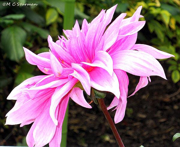 Dahlia Mixed Media - Pink Dahlia by M C Sturman