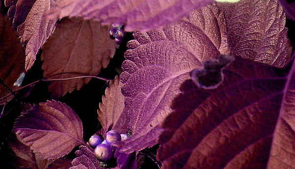Plant Photograph - Pink Leaves by Juliana  Blessington