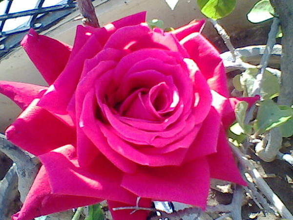 A Flower Photograph - Pink Rose by Archana Saxena