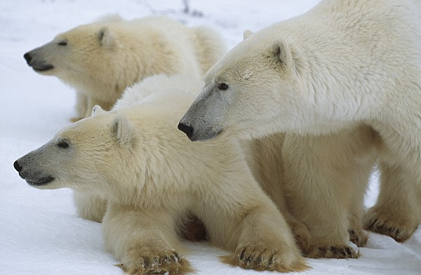Canada Photograph - Polar Bear And Two Large Cubs Sniffing by Norbert Rosing
