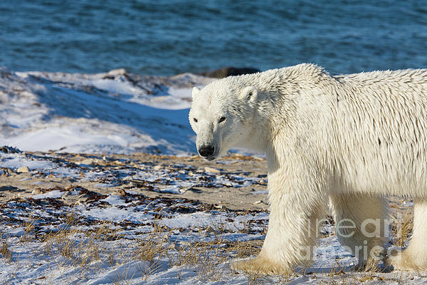 Arctic Photograph - Polar Bear by Buchachon Petthanya