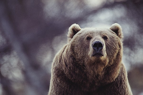 Portraits Photograph - Portrait Of A Kodiak Brown Bear by Joel Sartore