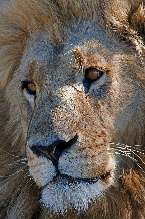 Africa Photograph - Portrait Of A Male African Lion by Beverly Joubert