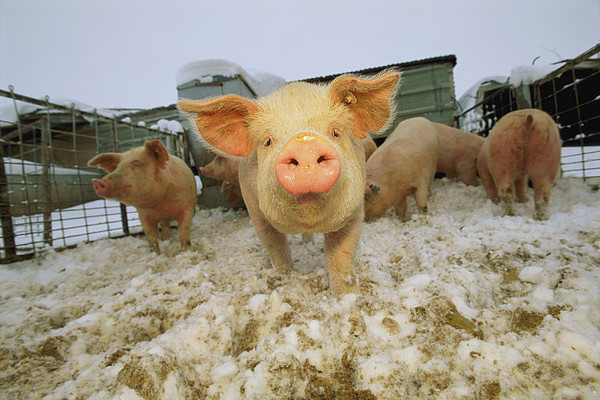 North America Photograph - Portrait Of A Young Pig In A Snowy Pen by Joel Sartore