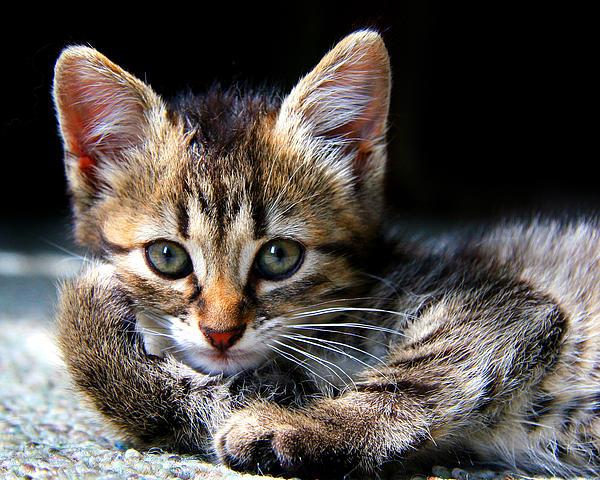 Kitty Photograph - Posing Kitty by Joe Myeress